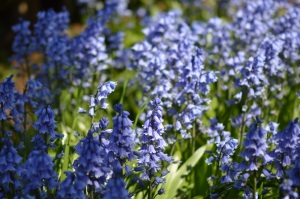 the blue bells that saved my life
