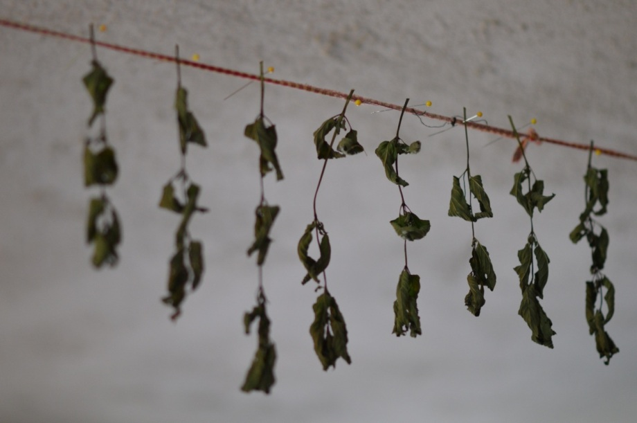 drying mint leaves